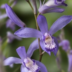 Bletilla striata Soryu Blue Dragon - Hardy outdoor orchid. Would partner well with the herbaceous peonies