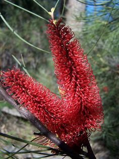 Red Pokers (Hakea bucculenta), a shrub protea native to dry regions between Shark Bay and Geraldton in Western Australia. Strange Flowers, Rare Flowers, Exotic Flowers, Colorful Flowers, Beautiful Flowers, Wild Flowers, Australian Native Garden, Australian Native Flowers, Australian Plants