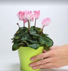 Solan çiçekleri canlandırmak için doğal gübre yapımı - Canım Anne Indoor Plants, Farmer, Vegetables, Anne, Home Decor, Garden, Amigurumi, Bedroom, Inside Plants