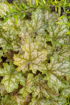 Heuchera 'Ginger Ale' foliage garden plant showing many mottled leaves