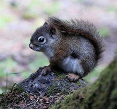 Little Animals Photo Album. Baby Red Squirrel by Nature Animals, Animals And Pets, Baby Animals, Cute Animals, Exotic Animals, Wild Animals, Cute Squirrel, Baby Squirrel, Squirrels