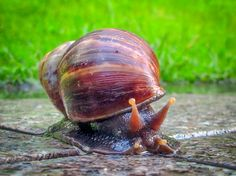 Tropical Large Garden Slimy Snail with Shell Brown Green Print or Canvas Photo Decorative Walls Fine Art Photography Decor by OriginalWorksbyJoy on Etsy