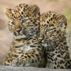Baby Animals Pictures, Cute Animal Pictures, Animals And Pets, Funny Animals, Cute Animals, Wild Animals, Amur Leopard, Leopard Cub, Baby Leopard