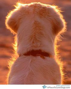 I love this picture of a Golden Retriever! Best dogs EVER! Baby Dogs, Pet Dogs, Dogs And Puppies, Dog Cat, Pets, Doggies, I Love Dogs, Puppy Love, Cute Kittens