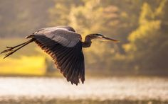 Blue Great Heron Herring Bird | Tag: Great Blue Heron Bird Wallpapers, Backgrounds, Photos,Images and ...