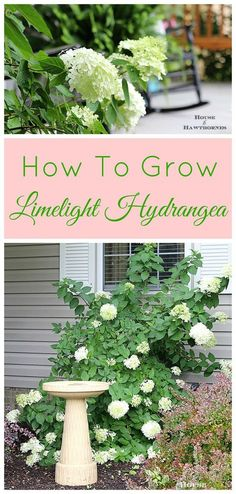 How to grow and care for your Limelight Hydrangea. A beautiful deciduous shrub for your garden which is very forgiving and easy to grow. Limelight Hydrangea, Hydrangea Garden, Garden Shrubs, Lawn And Garden, Shade Garden, Hydrangeas, Hydrangea Bush, Roses Garden, Big Garden