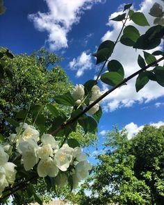#jasmine #flowers #bluesky #keepthemoment #sunday #goodmood�� #happiness # Cieszmy się każda chwilą naszego życia, podziwiajmy piękno natury. Spokojne niebo, słońce i piękne kwiaty naprawdę potrafią dorzucić kawałek szczęścia do naszych serc ��☺️ http://misstagram.com/ipost/1541876993896195541/?code=BVl2PTsh6XV