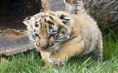 Baby Tiger Wallpapers Mobile Animal Wallpaper