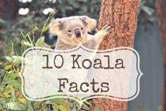 10 Koala Facts