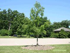 Shawnee brave Bald-cypress Bald Cypress Tree, Cypress Trees, Street Trees, Ash Tree, Shawnee, Brave, Plants, Plant, Planets