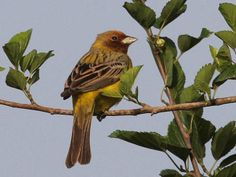 Red-headed Bunting, Emberiza bruniceps. It breeds in central Asia. It is migratory, wintering in India