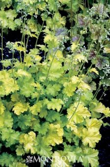 Lime Rickey Coral Bells - Monrovia - Lime Rickey Coral Bells