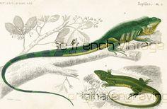 Reptiles, Green Iguana, green lizard, Crocodilia 1861. Bearded dragon. Original…