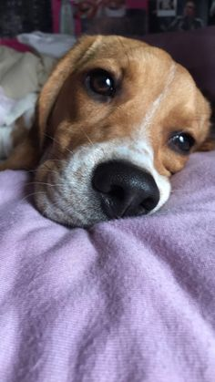 Are you interested in a Beagle? Well, the Beagle is one of the few popular dogs that will adapt much faster to any home. Cute Beagles, Cute Puppies, Cute Dogs, Dogs And Puppies, Doggies, Beagle Puppies, Beagle Funny, Baby Beagle, Baby Animals