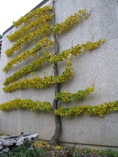 Espaliered ginko in courtyard (National Bonsai & Penjing Museum at the United States National Arboretum) by kflaim, via Flickr