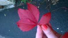 #red #big #leaf #autumn #october #fall #cluj