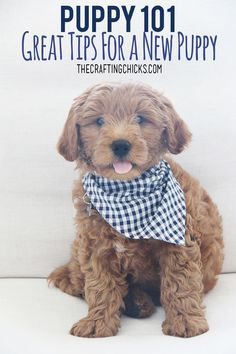 Puppy 101 Great Tips for a New Puppy. Tips and Tricks for your new puppy. Advice for the best puppy toys training and grooming supplies. Puppies Tips, Best Puppies, Toy Puppies, Bulldog Puppies, Shitzu Puppies, Pomeranian Dogs, Chihuahua Dogs, Puppy Training Tips, Training Your Dog