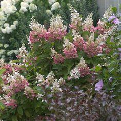 Pinky Winky® - Hardy Hydrangea - Hydrangea paniculata
