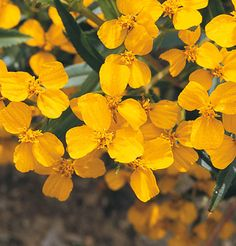 Mexican Mint Marigold Sweet licorice flavor brightens salads and main dishes. Pretty, golden yellow flowers bloom all summer. Full sun. 20-26""