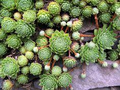 Réputées increvables, les joubarbes sont des plantes très appréciées en rocaille ou pour végétaliser les supports les plus hostiles. Leur incroyable capacité d'adaptation et leurs milliers de cultivars étonnants ne cessent de nous surprendre. Sempervivum, Crassula, Cactus Plante, Succulents Garden, Shrubs, Fruit, Vegetables, Nature, Floral