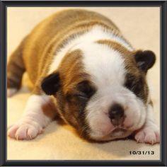Boston baby #bostonterrier #bostonterriercult #bostonterrierpuppy #balljunkie #bostonterrierlife #mansbestfriend #womansbestfriend #bostonterrierpics #ilovemybostonterriers #bostonbuddies #aplacetolovedogs  #bostonterrierfaces #bostonterrierexpressions #bostonterrierpersonalities #lifeanddog #Padgram