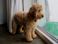 adult cockapoo groomed - Google Search