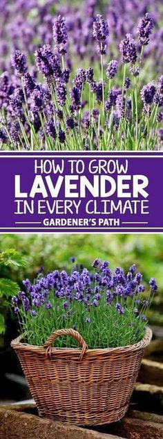 If you�re looking for a beautiful addition to your garden that requires very little maintenance while offering a bountiful harvest year after year, then lavender is the plant for you! Learn what variety fits with your region and the best tips to grow it o #floridagardening