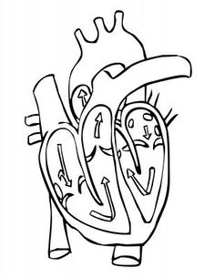 Medical Heart Diagram Coloring Page