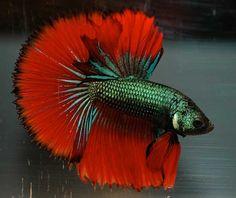 beta fish | History of Bettas - Splendid Bettas