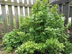 Tenhle nádherný exemplář libečku máme na zahradě už zhruba 15 let. Podotýkám, že tenhle jeden opravdu bohatě stačí pro pokrytí chuťových, čichových a terapeutických potřeb celé naší velké rodiny. Herbs, Garden, Plants