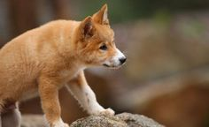 The Dingo was listed as a threatened species in Victoria in 2008. Meet the pack at Healesville Sanctuary to learn more about this iconic species.