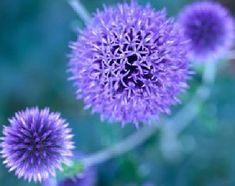 Google Image Result for http://static.ddmcdn.com/gif/blue-to-purple-perennial-flowers-1.jpg