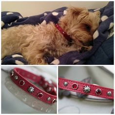 Chuck looks so adorable in his new collar!!!