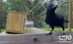 کلاغ نابغه ، باهوش ترین پرنده دنیا