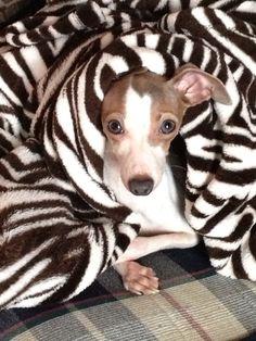 My Italian greyhound!