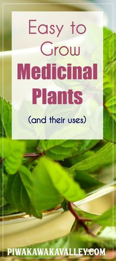 Here are some easy to grow medicinal plants and their uses. Medicinal plants Herbal plants, Herbal plants, plants for home Herbal recipe How to prepare tea Natural herbs Growing herbs indoors Healing herbs Growing tea herbs gardening, herb garden, growing Growing Tea, Growing Herbs In Pots, How To Grow Herbs, Herbal Plants, Medicinal Plants, Herbal Tinctures, Herbalism, How To Prepare Tea, Herbs For Health
