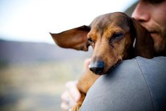 Dachshund Dog Breed Profile - History and Information