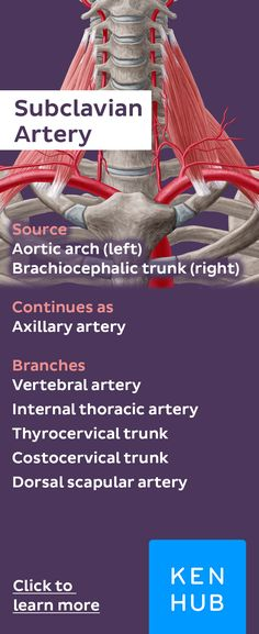 The subclavian arteries receive blood flowing from the aortic arch, and once they pass the lateral border of the first rib, they become known as the axillary arteries. Click to learn more #arteryfacts #anatomy