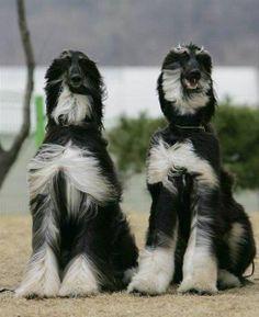 AFGHAN HOUNDS - Afghan hound - DOG BREEDS