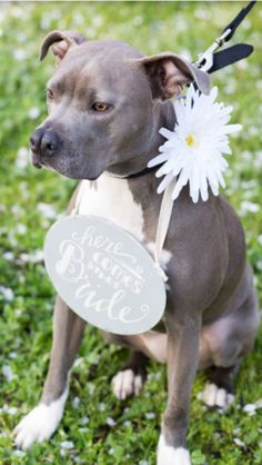 Here comes the bride! Engagement photos! Pitbull baby Jojo!!!!