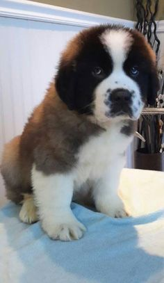 Meet male#2, born Dec 16th, a Petfinder adoptable Saint Bernard St. Bernard Dog | Lucknow, ON | THANK YOU FOR YOUR INTEREST IN ADOPTING A RESCUE DOG - PLEASE READ THIS ENTIRE FEED TO ANSWER ALL...