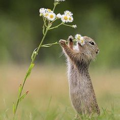 Take time to smell the flowers European Ground Squirrel. Photo by – All Pictures Nature Animals, Animals And Pets, Wildlife Nature, Beautiful Creatures, Animals Beautiful, Cute Baby Animals, Funny Animals, Baby Wild Animals, Ground Squirrel