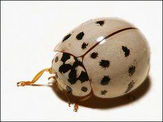 albino ladybug  www.stevenderks.com