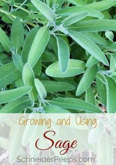 : Growing sage in your home will ensure you have enough to use for cooking savory and sweet dishes and use medicinally. Sage is good for skin care, women's hormones, and cold and flu season. Learn how to grow and use sage in this article. Organic Gardening Tips, Sage Plant, Medicinal Plants, Growing Herbs, Growing Sage, Organic Vegetable Garden, Plant Care, Growing Vegetables, Plants