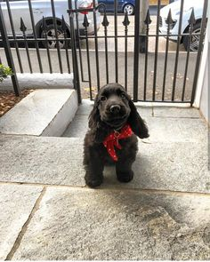 """See our website for more information on """"cocker spaniel dog"""". It is a superb location to find out more. Cocker Spaniel Anglais, English Cocker Spaniel Puppies, Black Cocker Spaniel, American Cocker Spaniel, Cute Cats And Dogs, Cute Dogs And Puppies, Cute Baby Animals, Funny Animals, Sprocker Spaniel"""