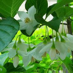 Styrax japonica 'Emerald Pagoda' in my home garden