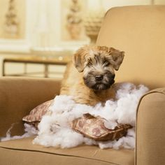 Soft Coated Wheaten Terrier Dog Breed Information, Pictures, Characteristics & Facts – Dogtime - Gwen Howarth Dogs Wheaten Terrier Puppy, Terrier Dog Breeds, Best Dogs For Families, Family Dogs, Wheaton Terrier Soft Coated, Terriers, Whoodle Puppy, Puppy Coats, Crazy Dog Lady