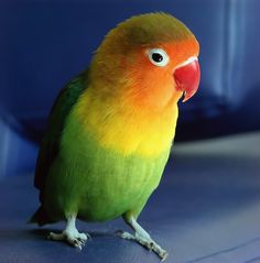 Useful Life Hacks, Love Birds, Pets, Animals, Parrots, Fisher, Wings, Friends, Parakeets