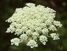 Queen Anne's Lace  Google Image Result for http://www.sisterzeus.com/graphics/q-a-lace.gif