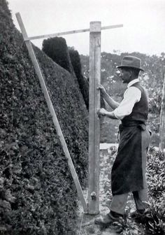 Remember to prune the azalea tops slightly narrower than the bottoms...........hedge measuring